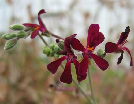 Pelargonium plant